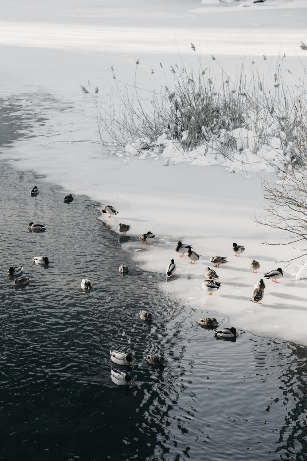 Winter Ducks at The Pond at Central Park Print by NYC Photographer Desiree Leilani