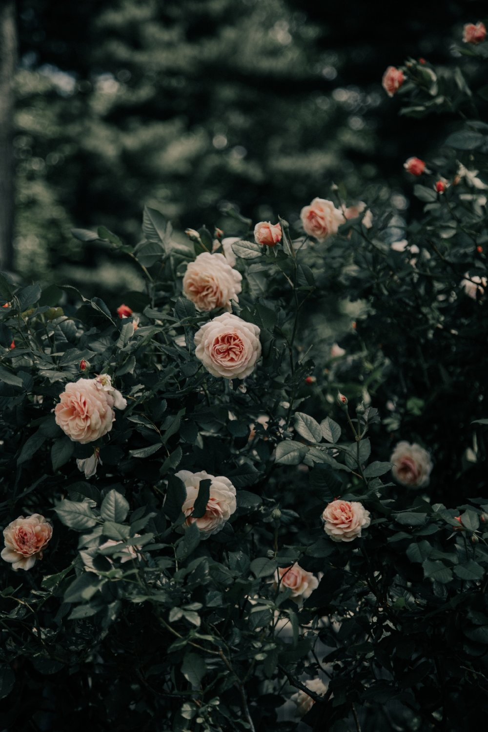 Rose Garden at Central Park by New York City Photographer Desiree Leilani