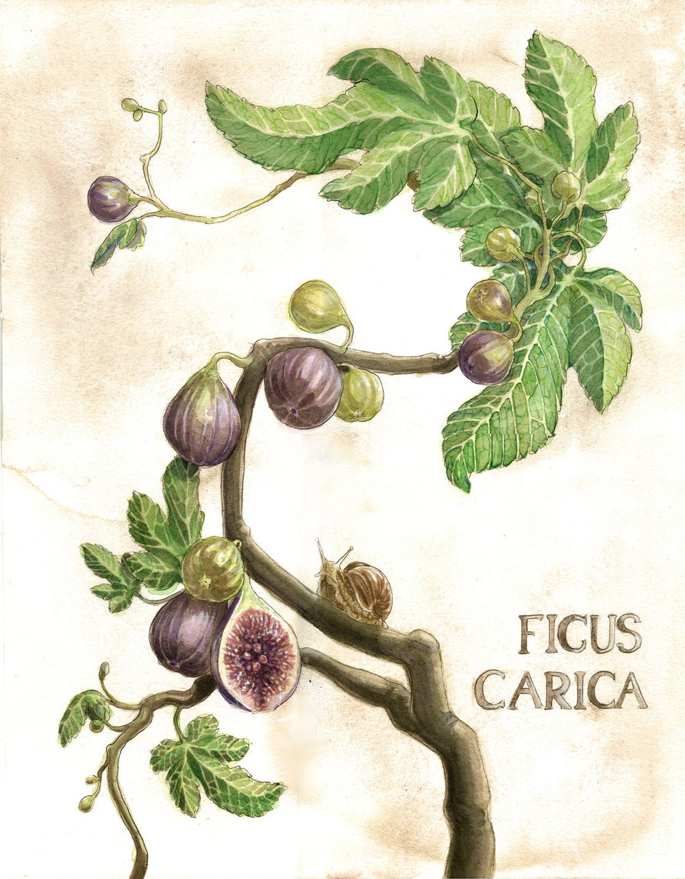 A botanical illustration of a fig tree.