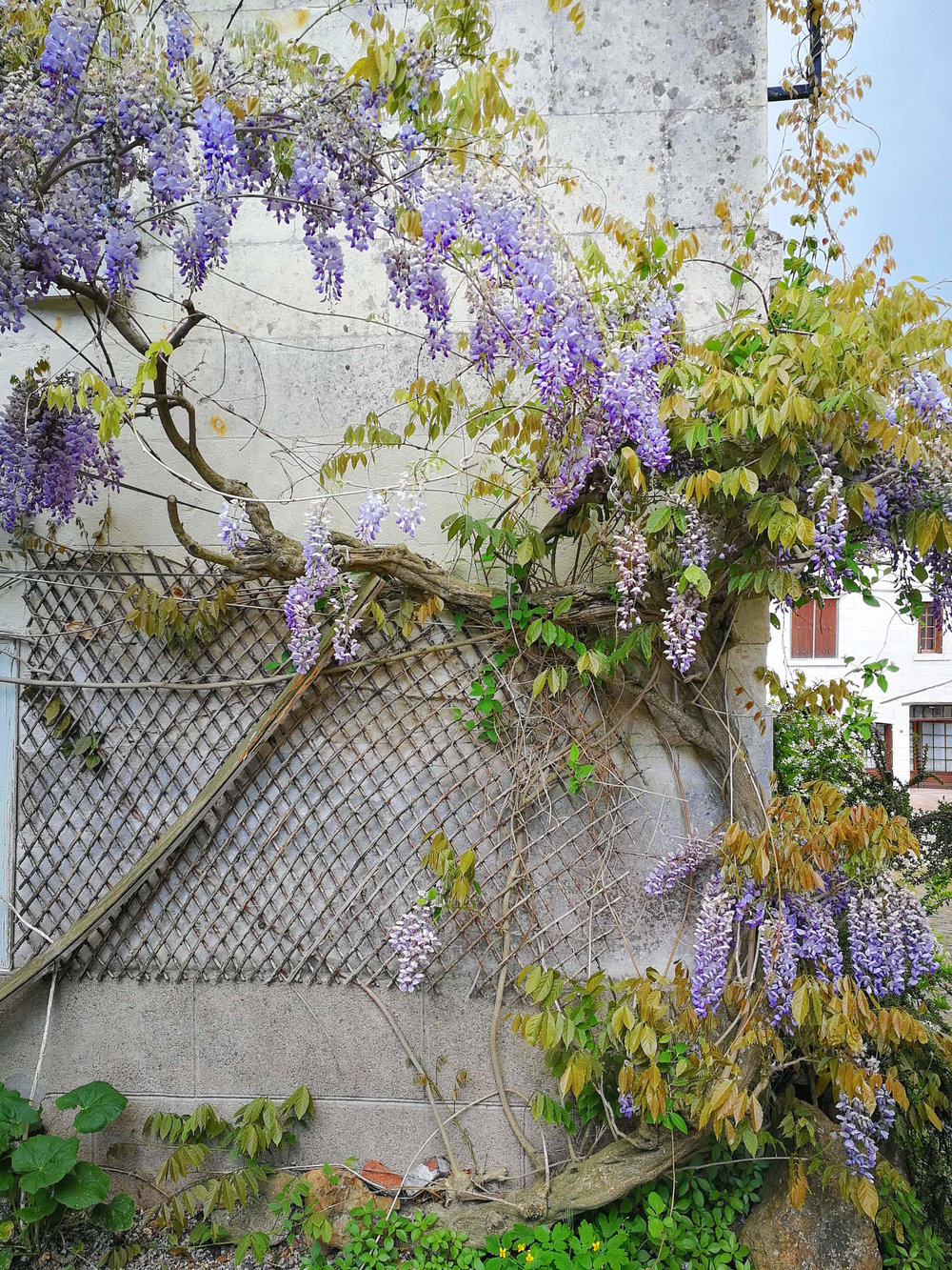 Springtime Wisteria in the Loire Valley