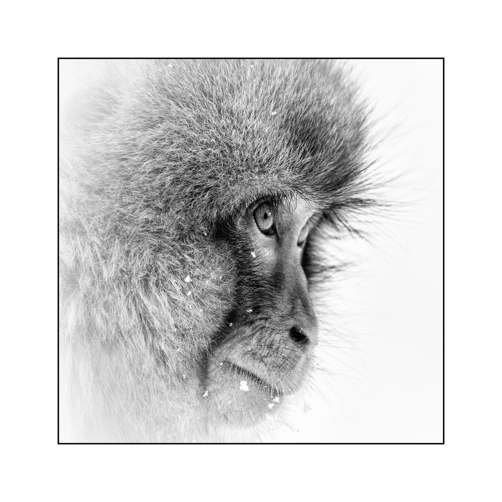 snow-monkey-look.jpg