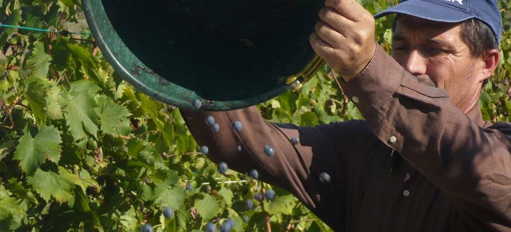grapes01-1200x545.jpg