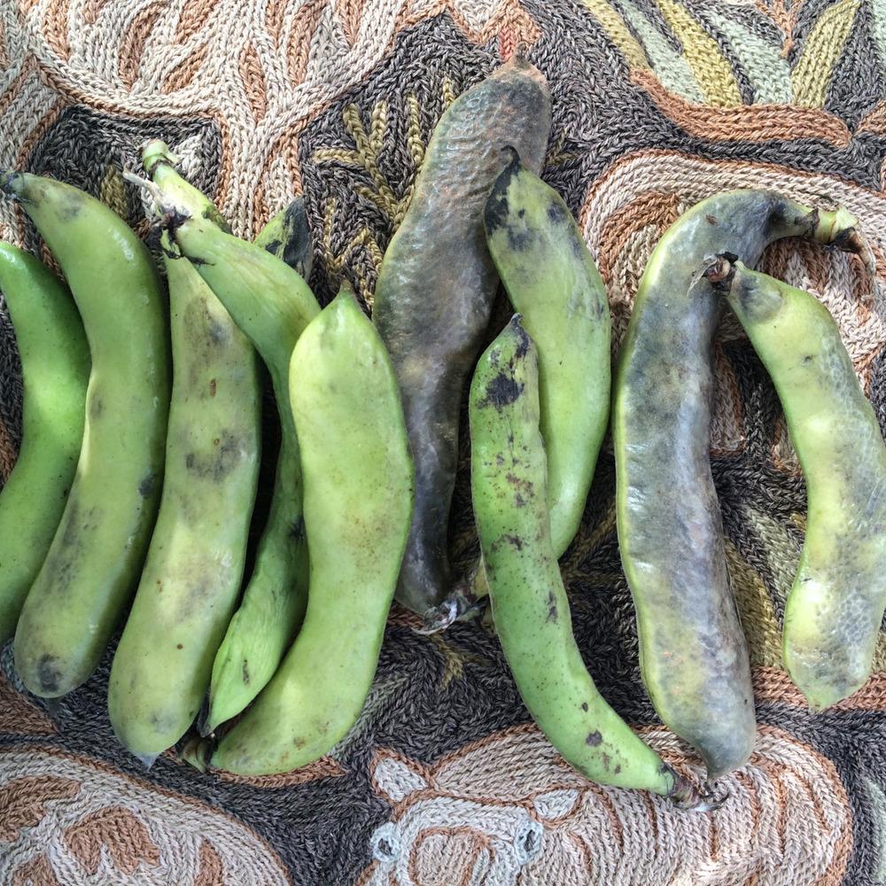 Drying Broadbeans