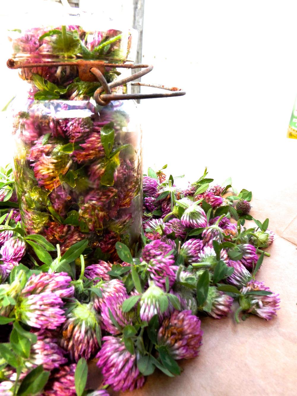 good4youherbals :      red clover blossom love . such good tea + tincture wild medicine