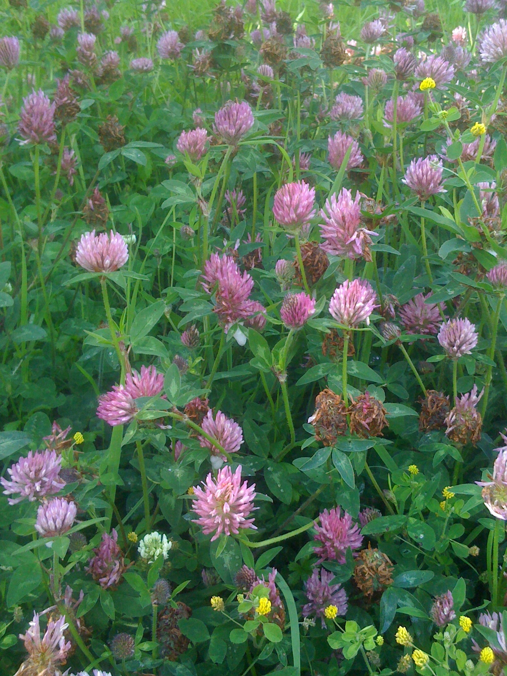 Red Clover, Trifolium pratense, has a long reputation as a drink for cleansing the lymphatic vessels through which cancer is thought to spread.