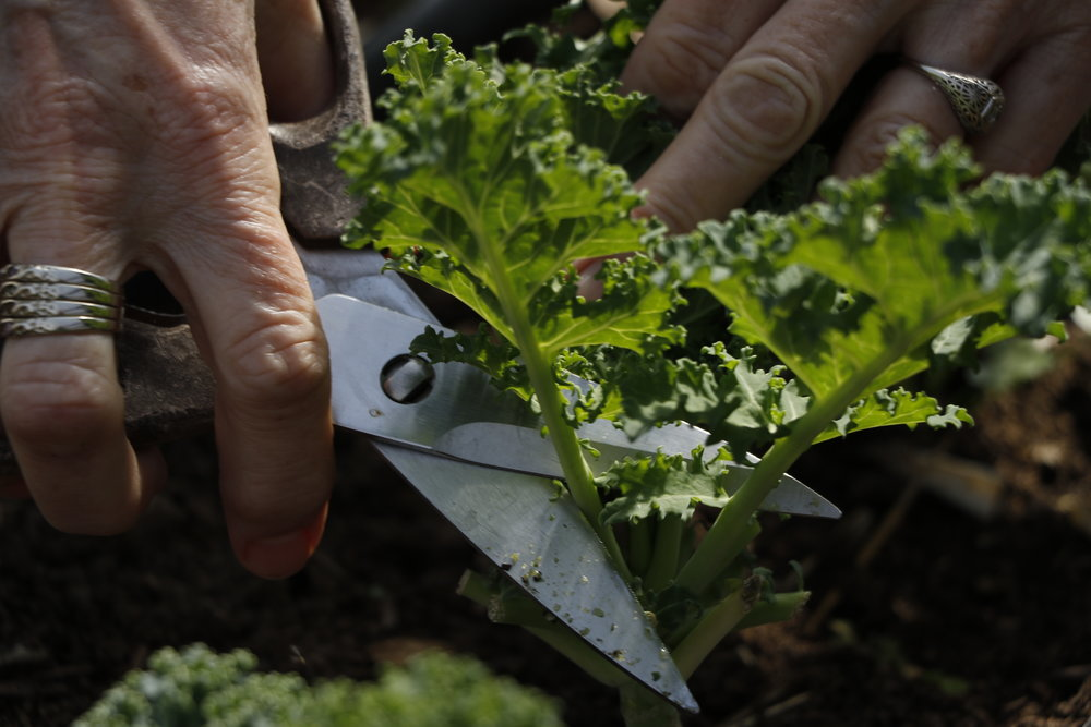 Pam Schmutzler cuts fresh leaves off of a kale plant Friday, March 3 in her greenhouse. Schmutzler's greenhouse is home to vegetable plants like kale, yellow beets, peas, tomatoes, Swiss chard and carrots. She still owns the old school bus that she converted into a greenhouse but now uses it to store bags of pecan seed mulch, which she sells on occasion.