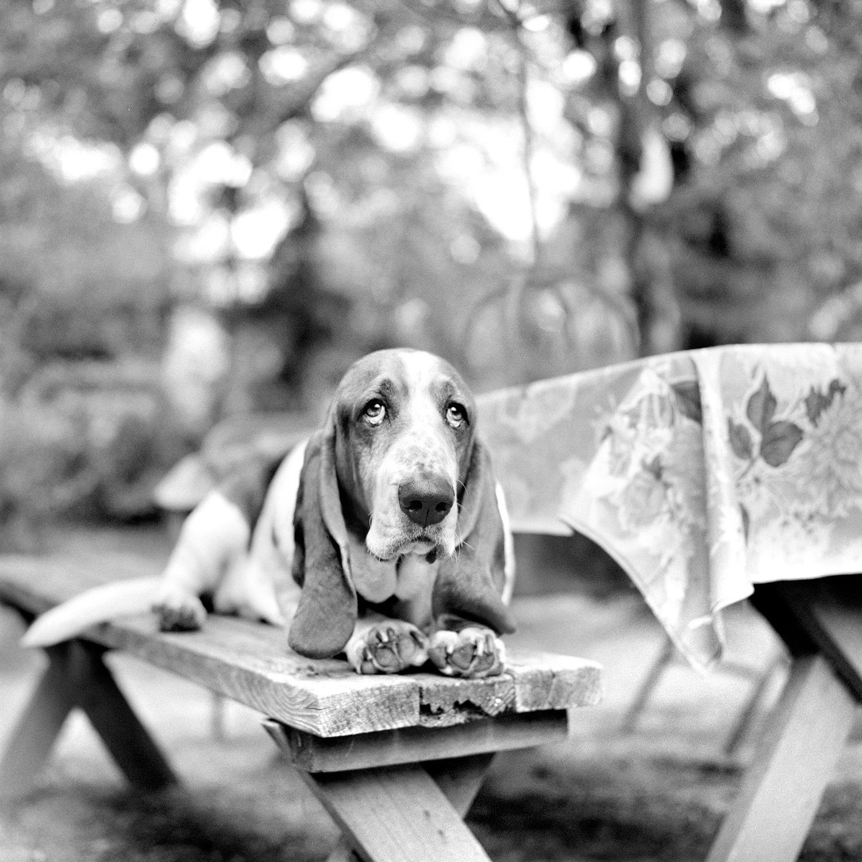 Black white dog photography photo of a basset hound