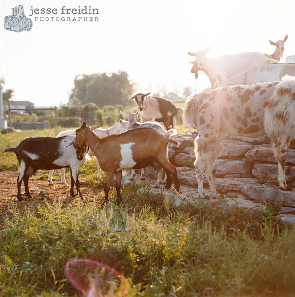 beekman boys goats