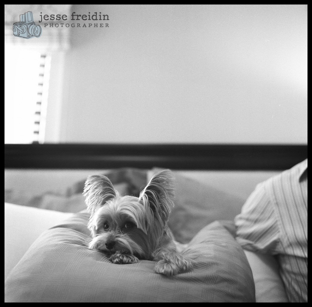 Yorkie photograph black and white