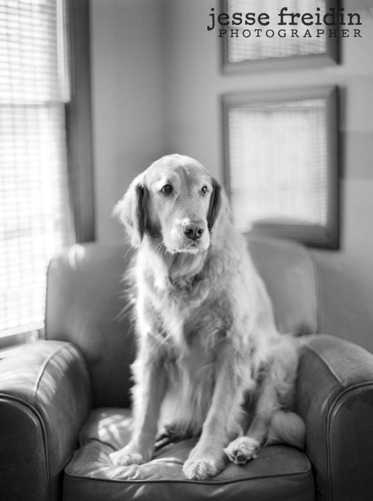 photo of golden retriever in chair