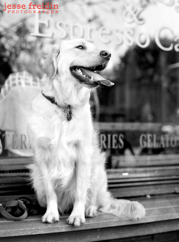 Los Angeles Dog Photography: Paisley the Golden Retriever