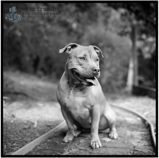 pit bull photograph black and white