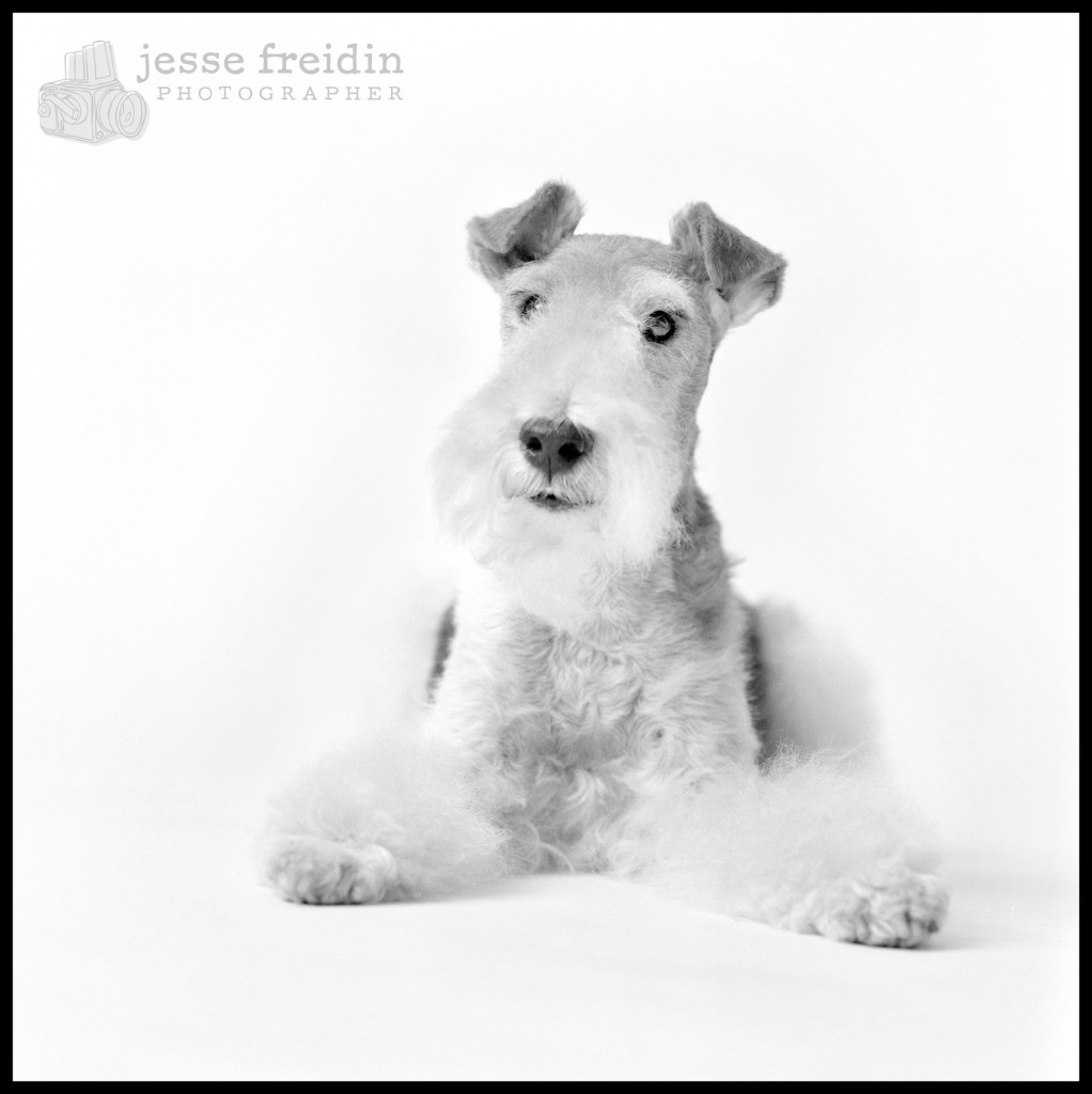 fox terrier black white photo