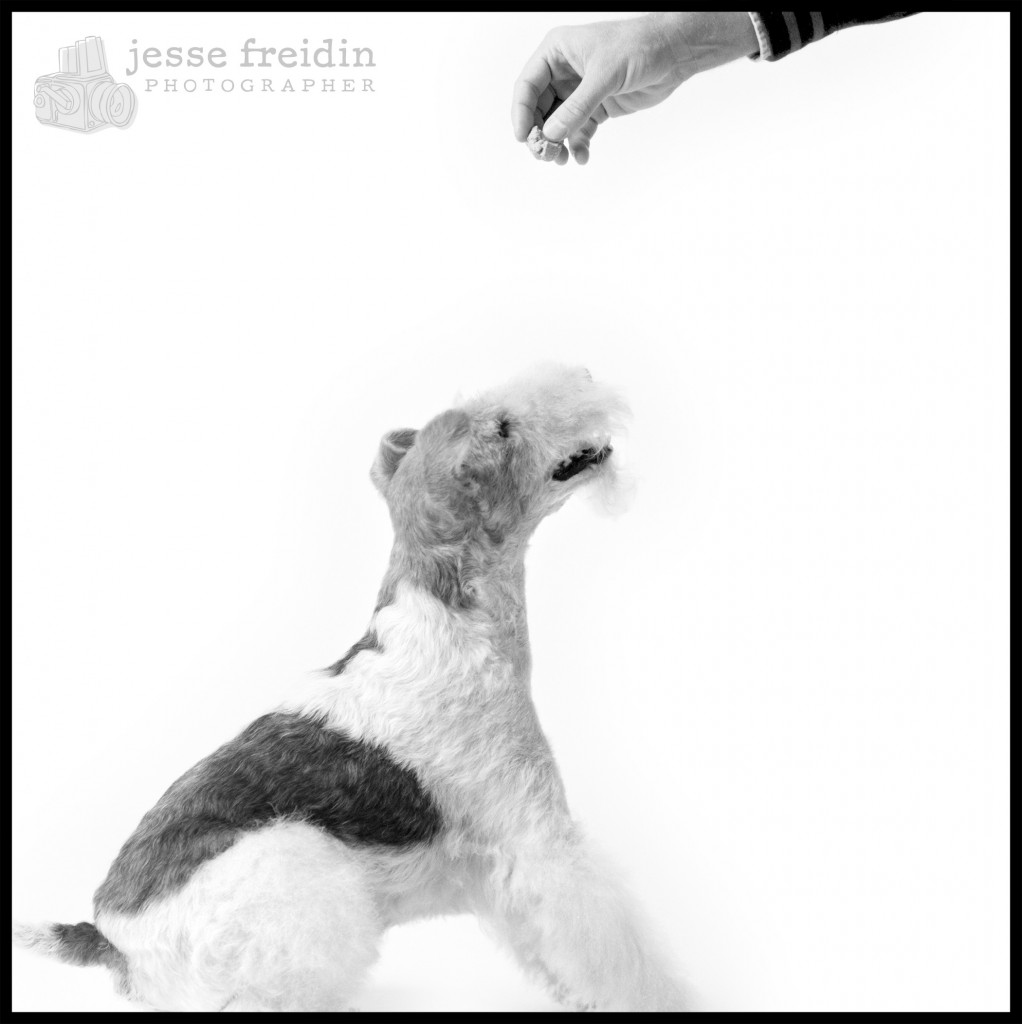 fox terrier photograph
