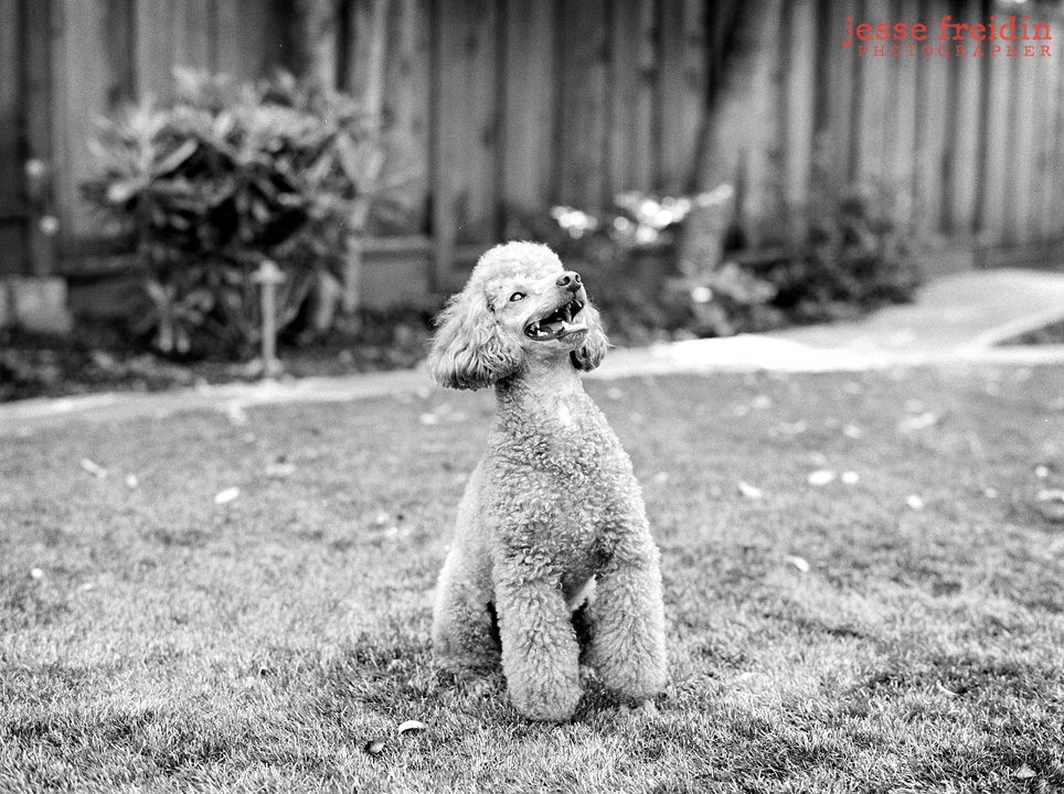 mini poodle photography
