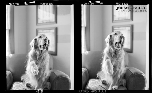 golden retriever black white photo