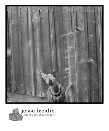 Italian Greyhound photo, black + white dog photo, black + white Italian Greyhound photo, Italian Greyhound picture, mini greyhound photo, Greyhound photograph