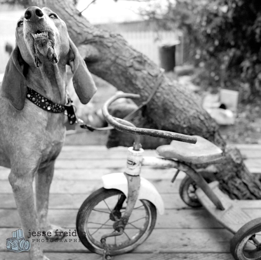coon hound photo black white