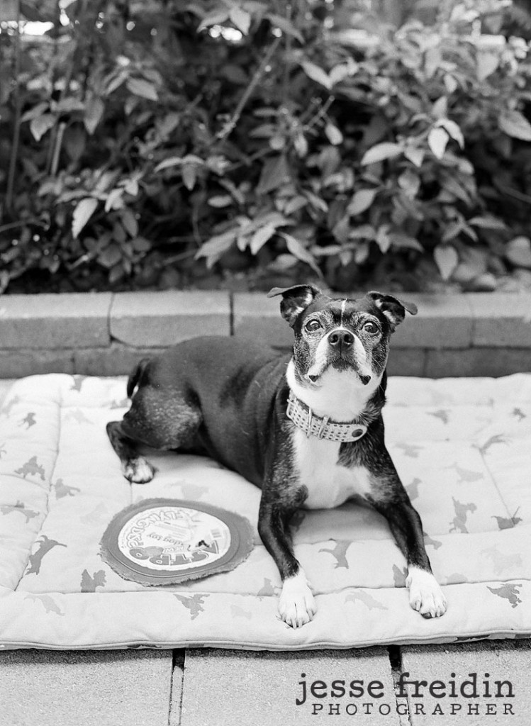A Boston Terrier named Nelly los angeles photo