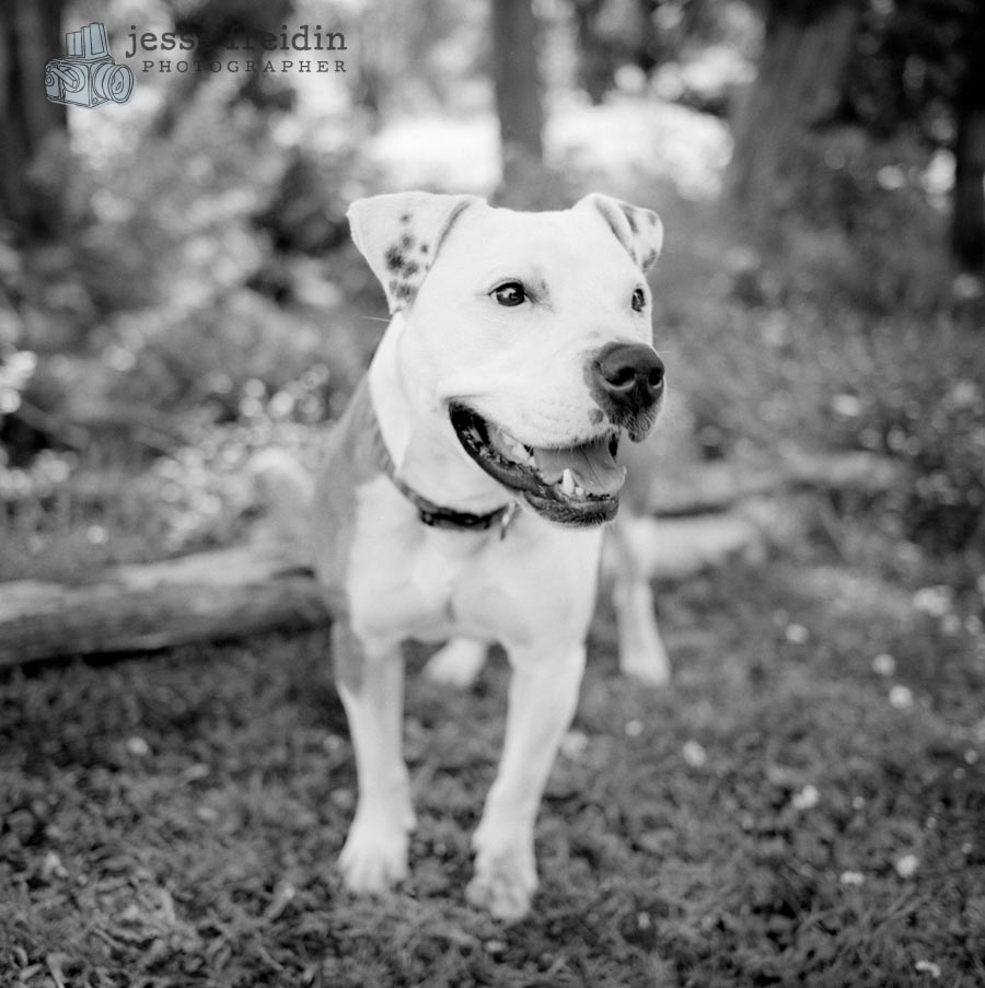 pit bull pitbull photo