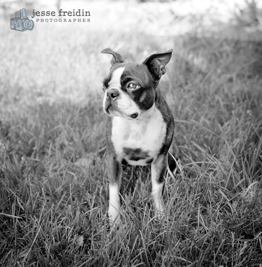 boston terrier black white photo
