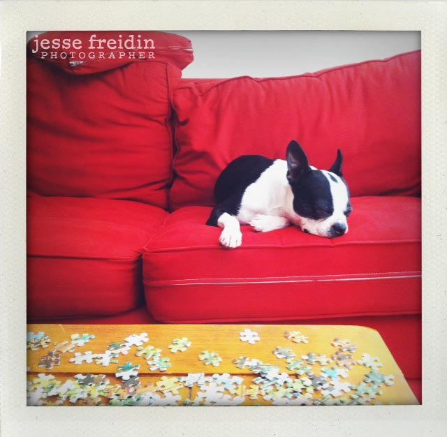 Jesse Freidin dog photography boston terrier