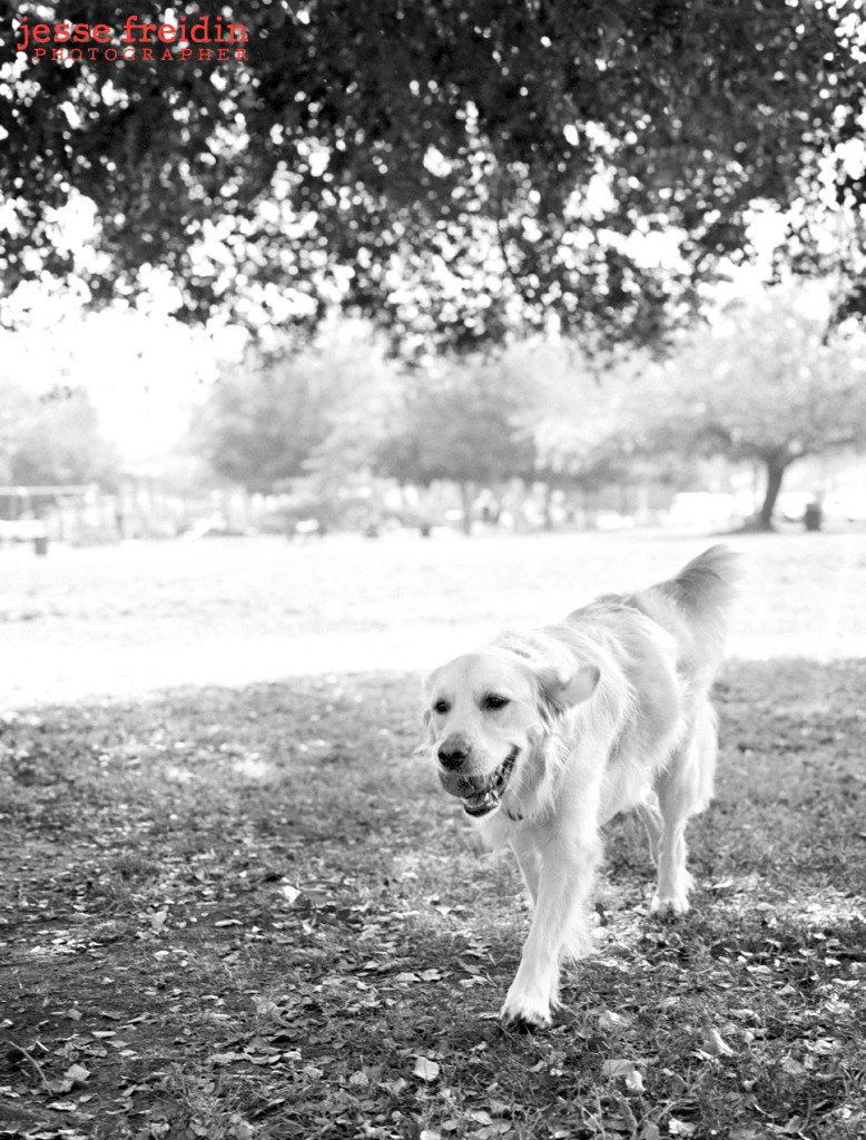Los Angeles Dog Photographer: Paisley the Golden Retriever
