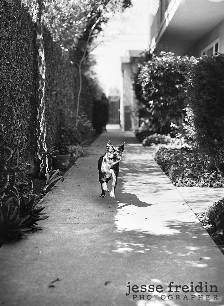 a dog photograph taken in los angeles Boston Terrier