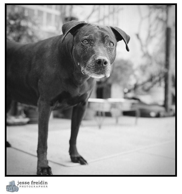 dog photography pitbull