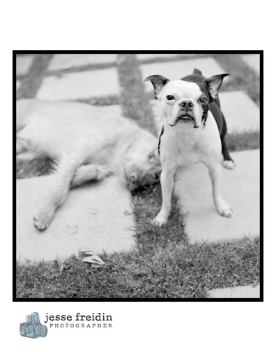 boston terrier black white photograph