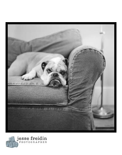 bulldog photograph black white