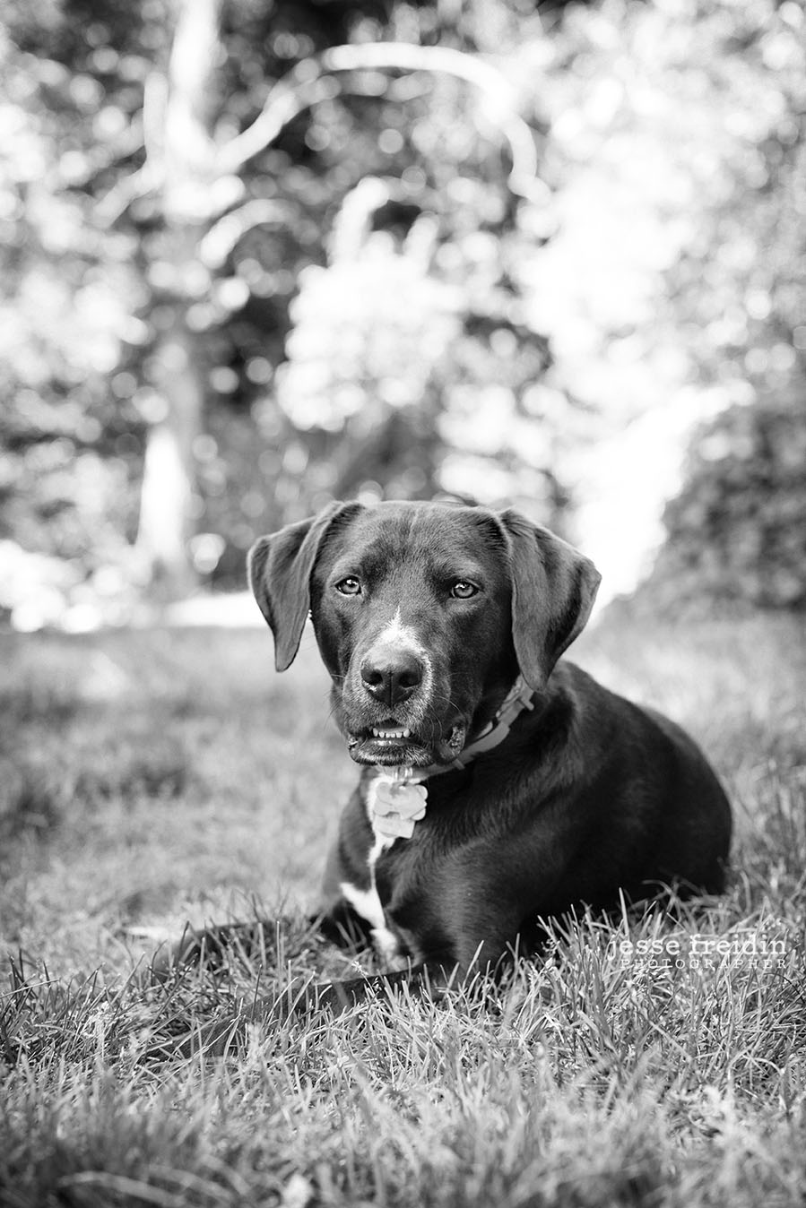 Boston Dog Photography