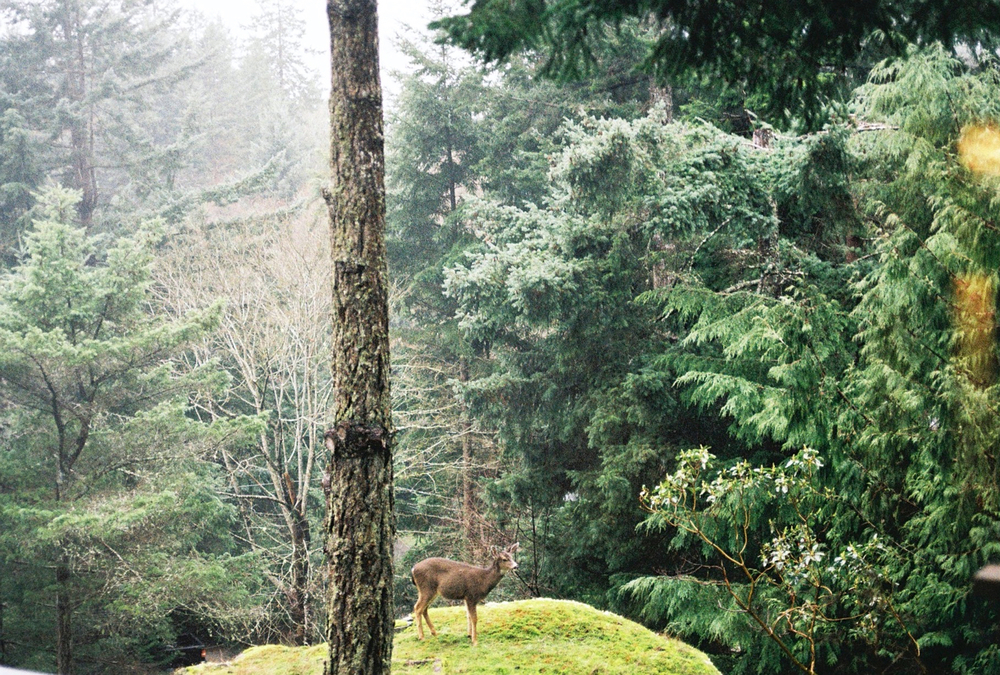 Deer friends, backyard