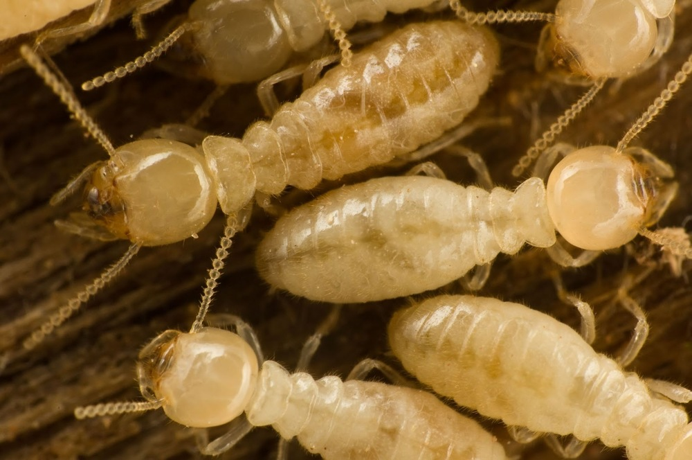 Termite Control Services For San Antonio By Pest Shield Pest - Us termite map