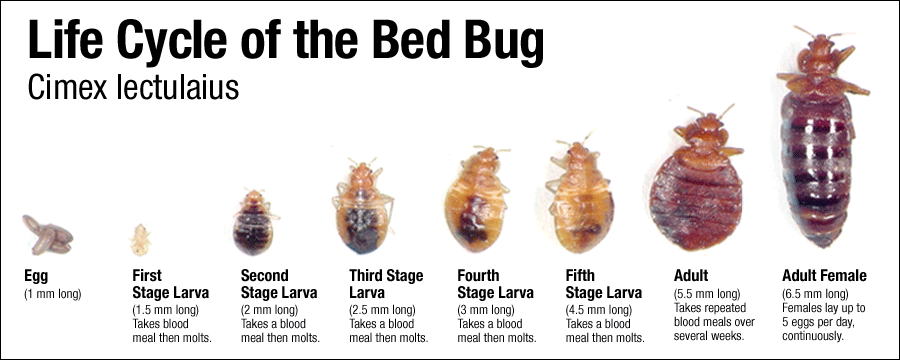 life cycle of bed bugs in san antonio