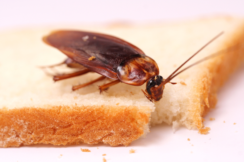 roach on bread