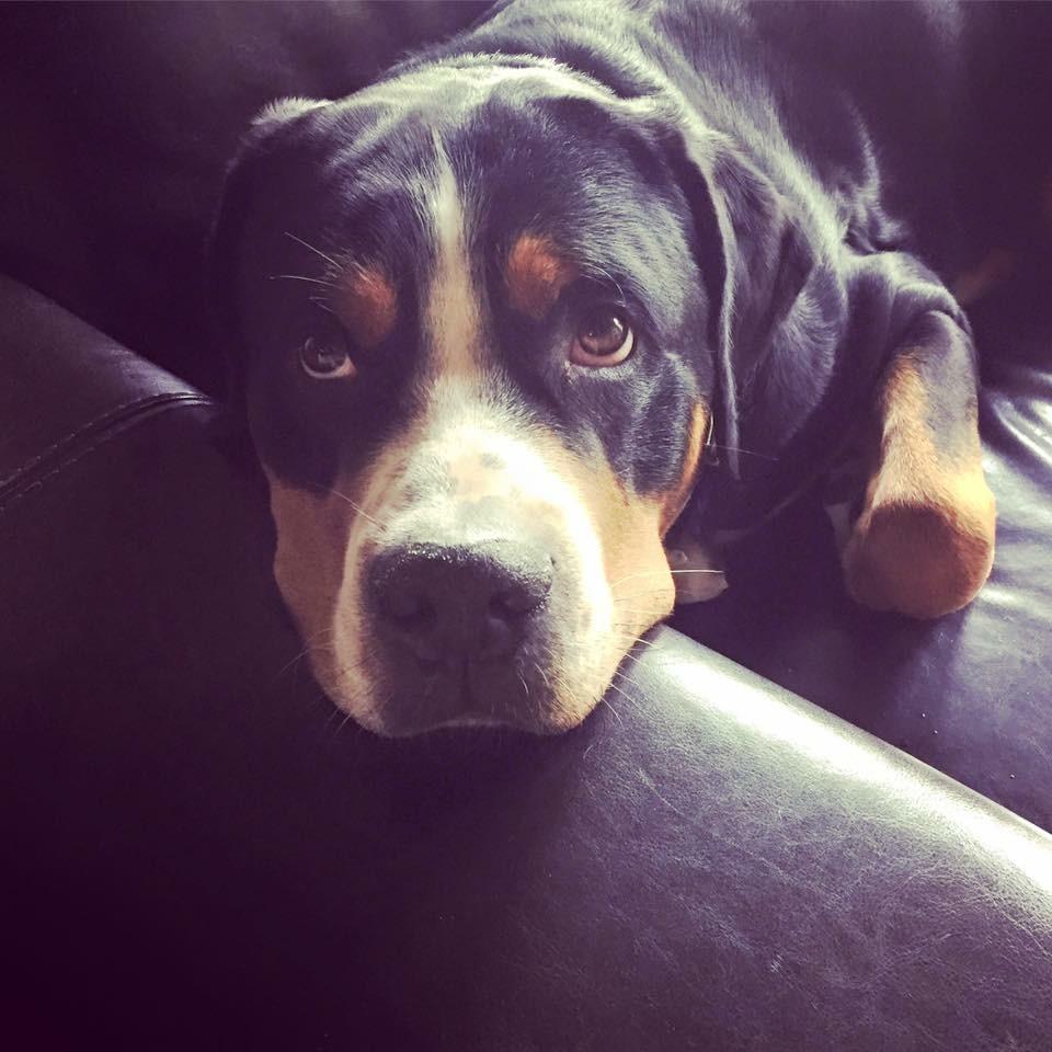 #henrycash #gsmd #greaterswissmountaindog #thinkshesalapdog #hugyourdog