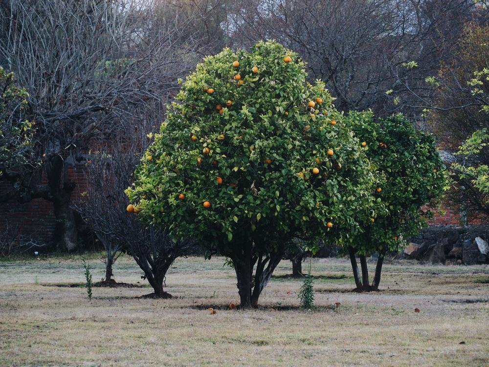 Orange orchard that we camped beside, Naranja de Tapia