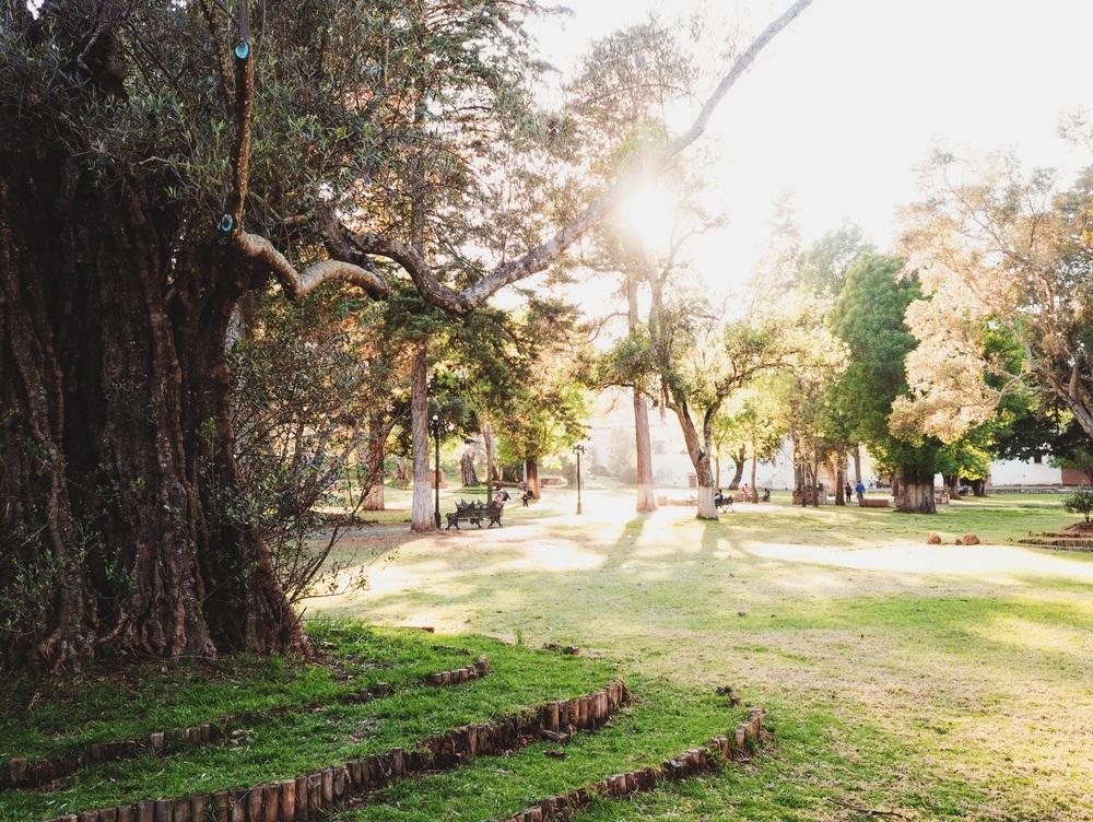 Old olive trees in Tzintzuntzan