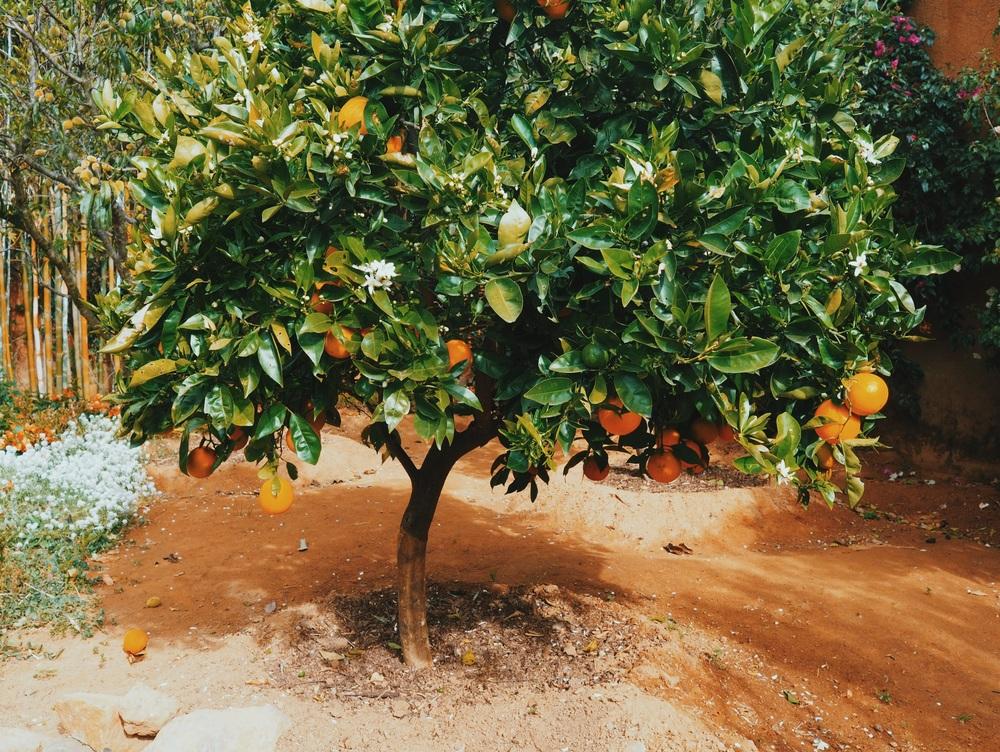 Orange tree in the backyard of Dolores' hacienda