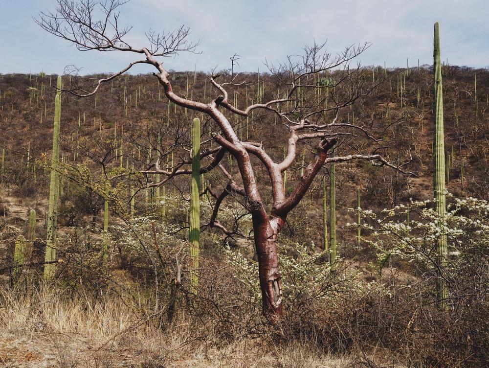 Massive cacti & trees
