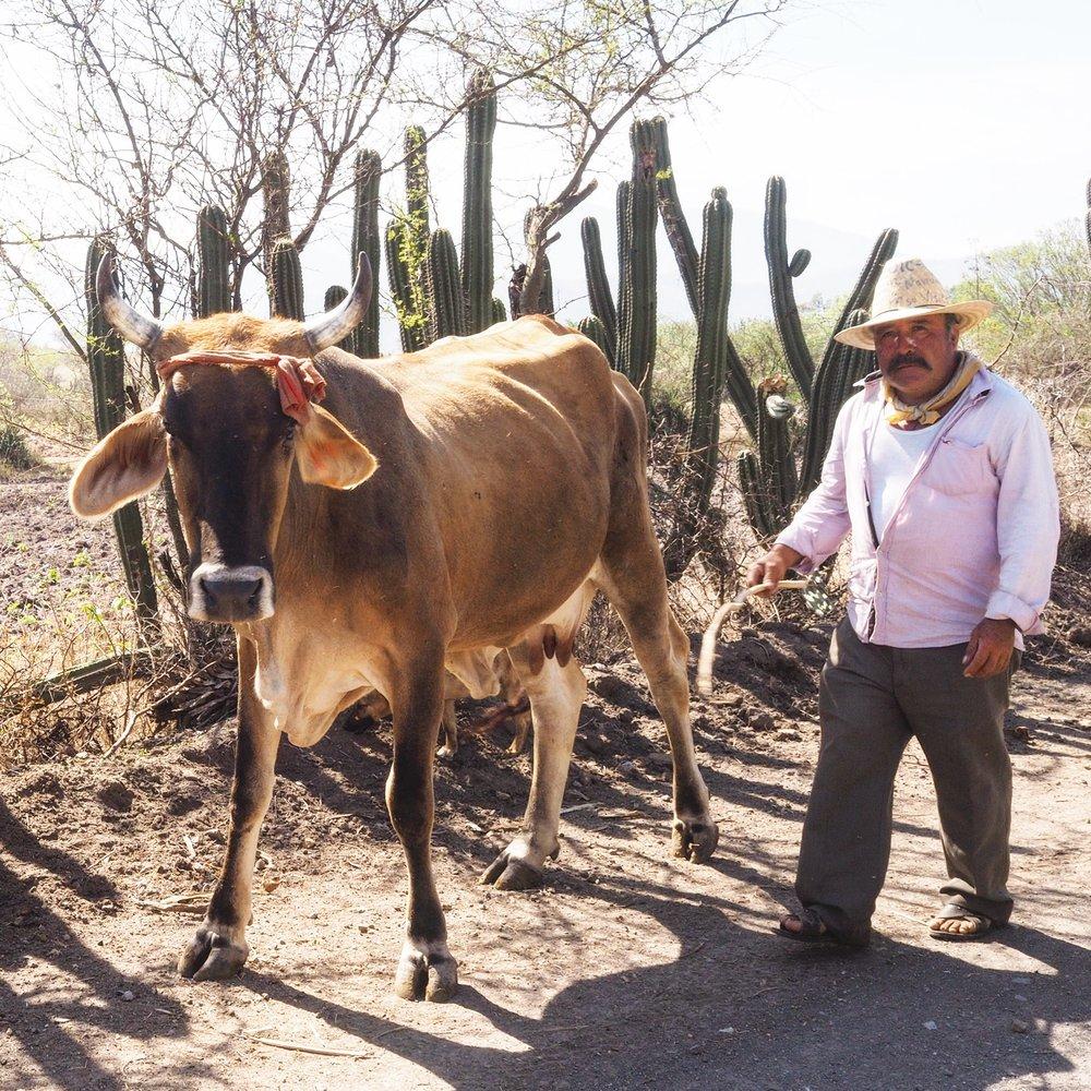 Man walking his cattle