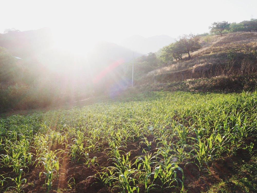 Corn farm where we camped in San Vicente Coatlán