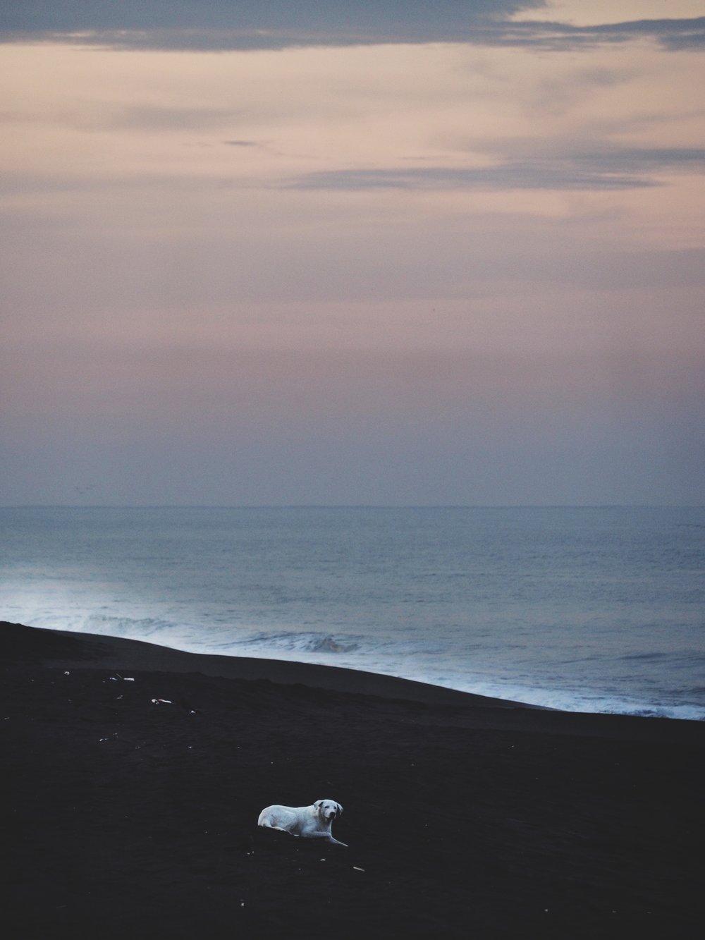 White dog on the black sand beaches of Monterrico