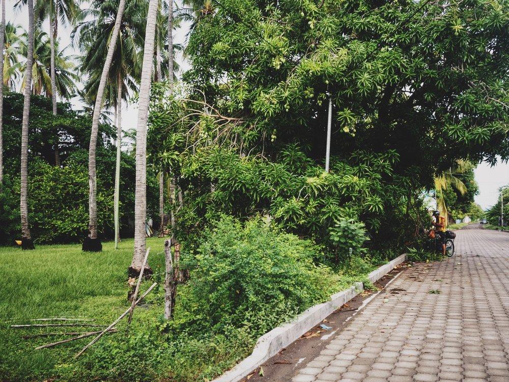 Gathering mangos