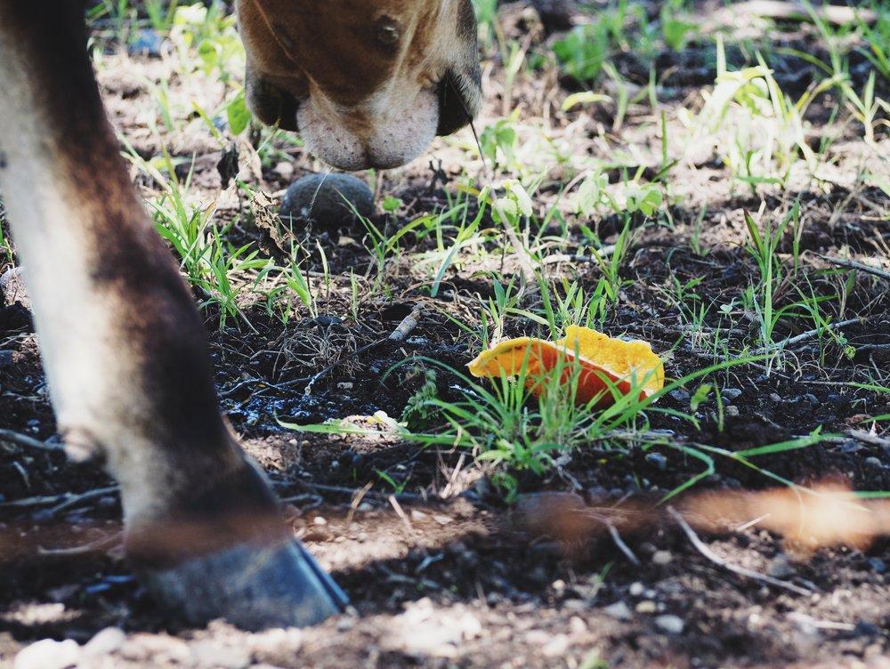 Feeding cows mangos