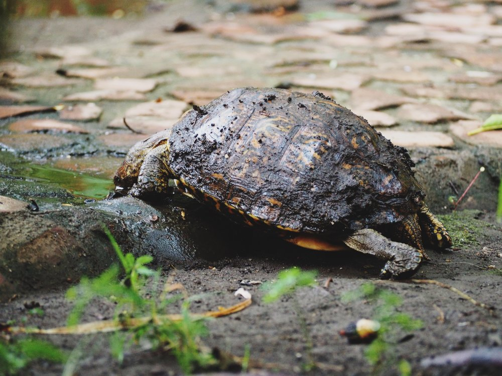 Turtle living in the garden at our hostel comes out for a drink and to splash in some mud before retreating under some foliage again