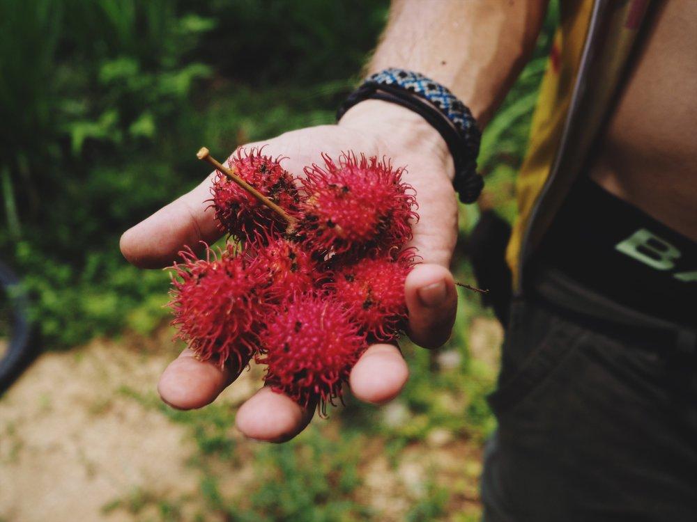 Rambutan foraging