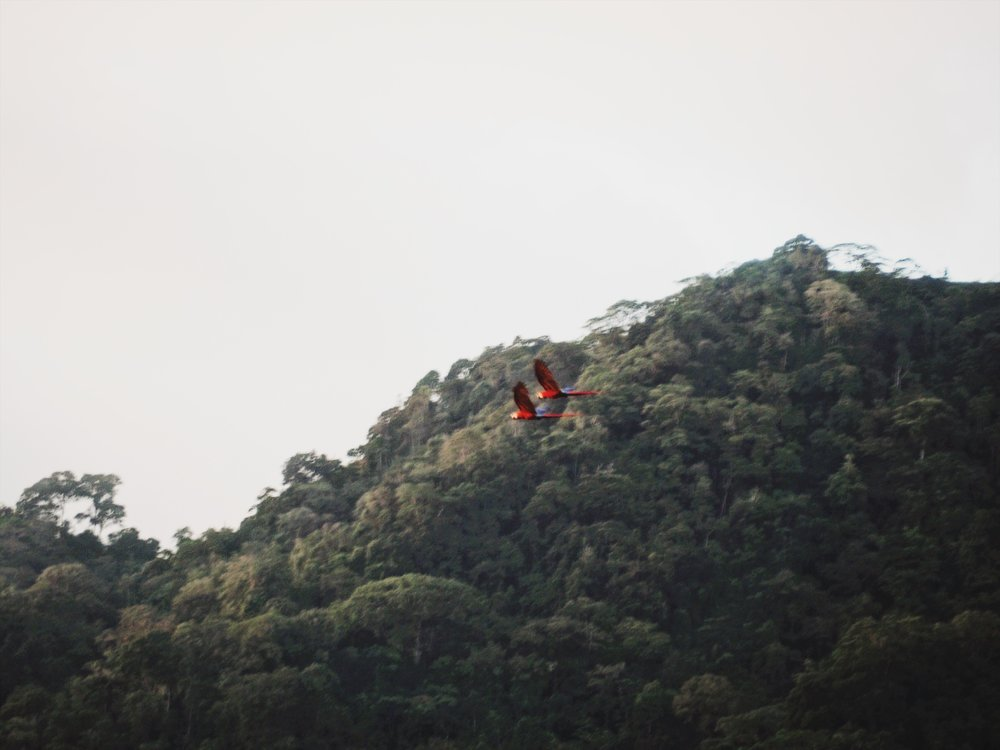 Scarlet macaws mate for life and are usually seen flying with their partner. We imagined these two were squawking,  Let's Go Cariño!