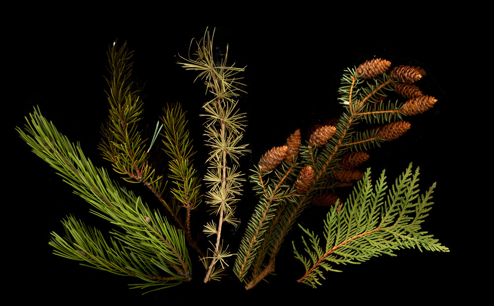 conifers by Joel Penner